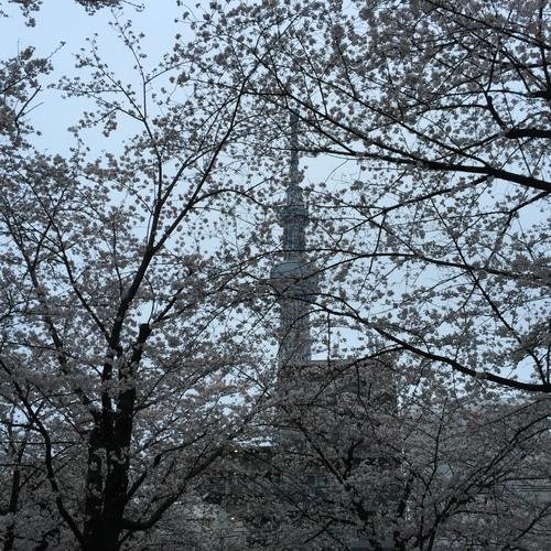 sakura_003.jpeg